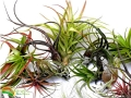 WILDNATURE_Tillandsia_mixed_3_logo.JPG