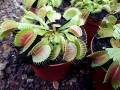 WILDNATURE_Dionaea_muscipula_typical_2.jpg