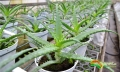 WILDNATURE_Aloes_2.JPG