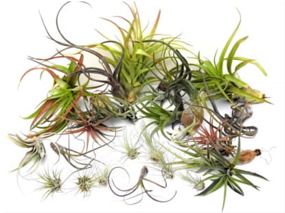 WILDNATURE_Tillandsia_mixed_1_mini.JPG