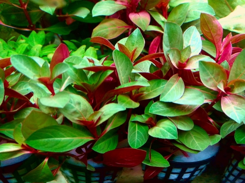 WILDNATURE_Ludwigia_repens_red.jpg